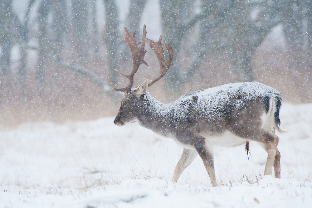 Fallow deer (Dama dama) stag walking in a snowstorm