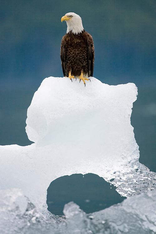 USA, Alaska, Holkham Bay, Bald Eagle (Haliaeetus leucocephalus) sitting on iceberg from South Sawyer Glacier