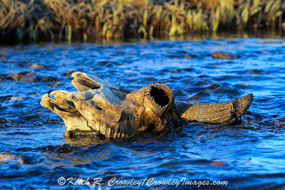 Bison (buffalo) skull in stream.