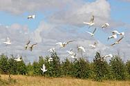 Egrets, Gaspar, Ciego de Avila, Cuba.