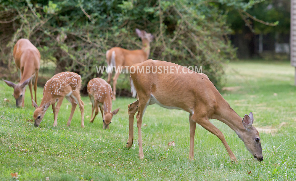 Middletown, New York - A group of white-tailed deer, including fawns, feed in the yard of a suburban home on July 13, 2012. ©Tom Bushey / The Image Works