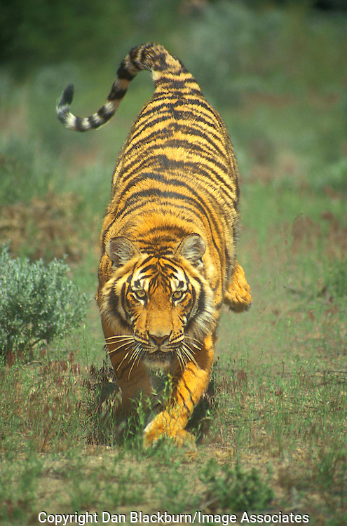 Bengal Tiger charging toward camera.