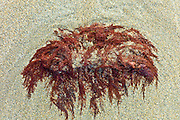 Red seaweed on sandy beach at Spanish Point, County Clare, West Coast of Ireland