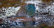 Arctic Grayling Spawning<br />