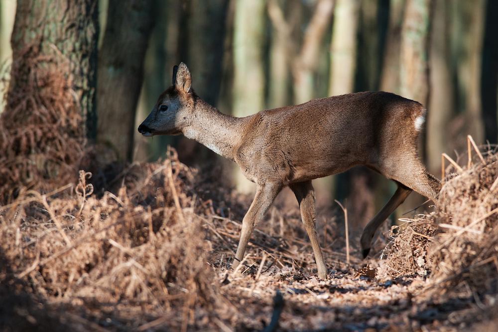 Roe Deer (Capreolus capreolus) doe walking in forest with bracken field