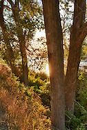 Yellowstone River, Cottonwood trees, sunrise, northeast of Livingston, Montana