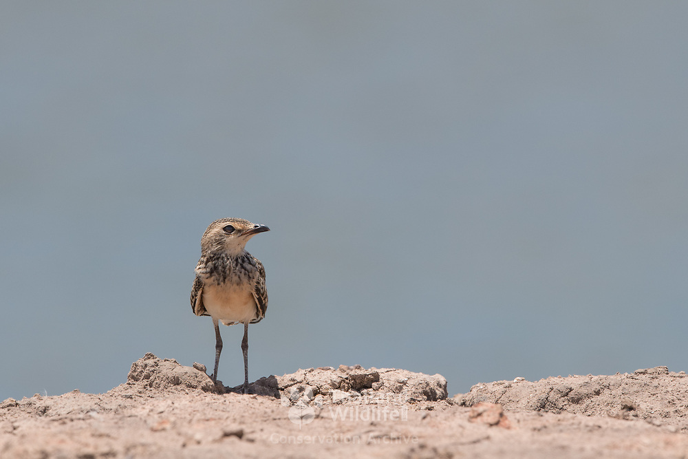 Juvenile oriental pratincole (Glareola maldivarum), also known as the grasshopper-bird or swallow-plover is a wader in the pratincole family, Glareolidae.