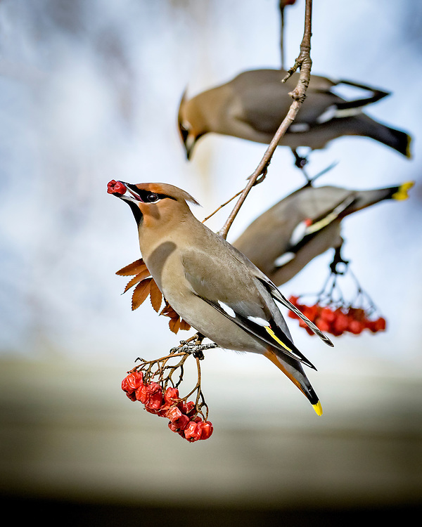 Alaska.  Adult Bohemian Waxwings (Bombycilla garrulus) clinging to branches of a Mountain Ash tree (Sorbus sp.) while feeding on the red berries in Anchorage in February.