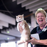 """February 11, 2017 - New York, NY : """"Romeo,"""" a five-month-old Minuet cat is awarded a prize for his time in the agility contest, by ringmaster Vickie Shields, at the Westminster Dog Show on Saturday afternoon. This year, The International Cat Association® (TICA®) joined the AKC for its Meet the Breeds® event, at the the Westminster Dog Show at pier 92 on Manhattan's West Side on Saturday. The event showcased different breeds of cats including the Minuet. CREDIT: Karsten Moran for The New York Times"""