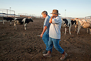 31 JULY 2009 --  BUCKEYE, AZ: Tony Martin (wearing hat) (CQ) from Lemoore, CA, and Joe Martin (CQ) (NO RELATION) from Hanford, CA, walk through the corrals and check out the livestock at the auction on the former Pylman Dairy Farm in Buckeye. The auction was handled by Overland Stockyards from Hanford, CA. The Arizona dairy industry is struggling to survive the worst milk economy some have ever seen. Due to the global recession, overseas demand for Arizona dairy products has plummeted, forcing prices down while production costs have stayed stable or gone up. For every $1 dairymen earn from milk sales, it cost them $1.50 to produce the milk. Photo by Jack Kurtz