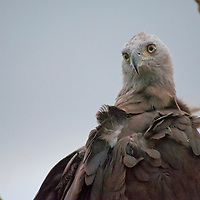 Alberto Carrera, Grey-headed Fish Eagle, Ichthyophaga ichthyaetus, Udawalawe National Park, Sri Lanka, Asia