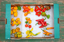 Mixed chilli peppers harvested into boxes