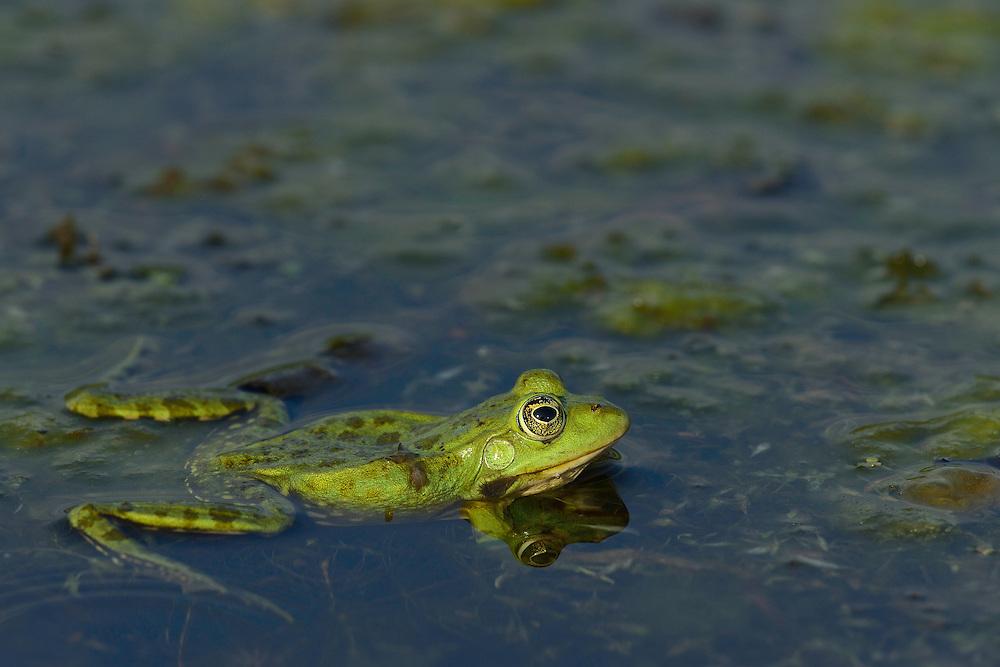 Pool Frog (Pelophylax lessonae), Danube delta rewilding area, Romania