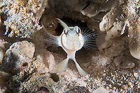 A Shrimpgoby peers from its burrow with fins splayed.<br /> <br /> Shot in Indonesia
