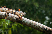 Iguana near the Macal River in Western Belize.  Males turn bright orange during the winter months, using their amber scales to attract females.