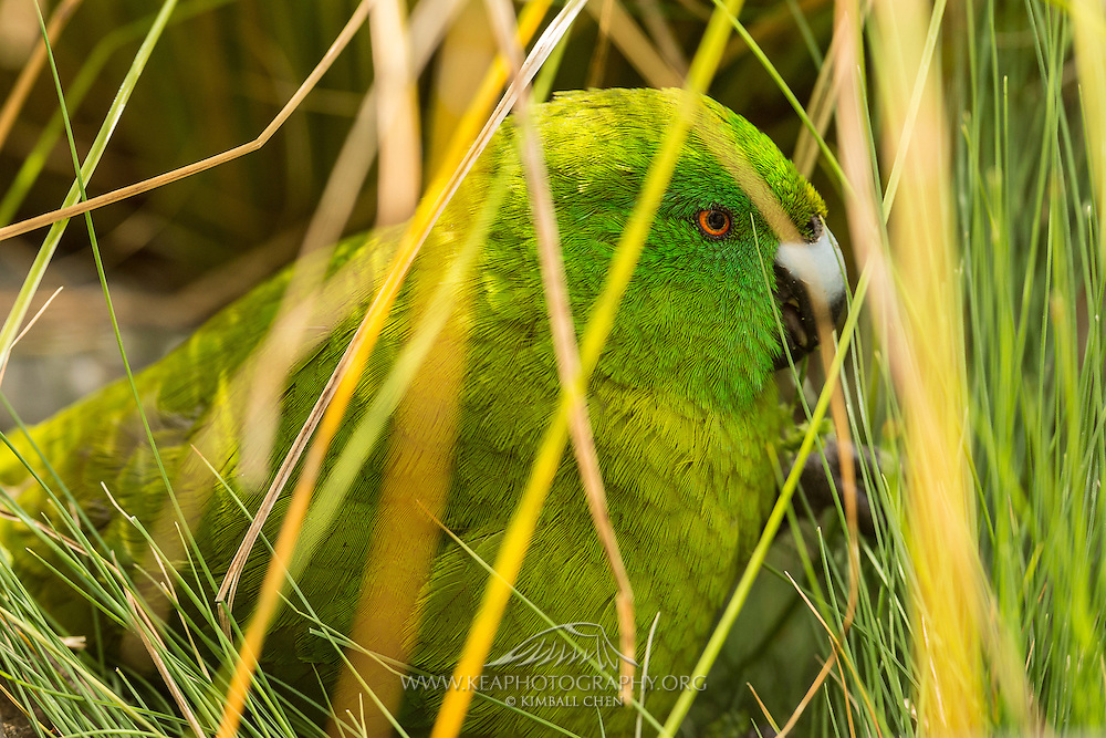 Although the endemic Antipodes Island Parakeet usually feeds on grass and tussock, it will occasionally scavenge on carcasses and eggs of penguins and petrels!