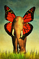 This elephant is very friendly! It also might be an elephant that exists only in our dreams, unless someone discovers elephants with stunning butterfly wings for ears sometime soon! There is something sweet to this image, which is as lovely as it is slightly odd. Have you ever looked at an elephants massive ears, and imagined them as something else? It stands to reason that all of us, and this picture is a glorious marriage of colors and sincere soul. It is easy to imagine a piece such as this in just about any space imaginable. Available in several different prints, or as an interior décor product. .<br />