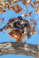Red-tailed hawk rouses its feathers, with late autumn cottonwod leaves, © 2011 David A. Ponton