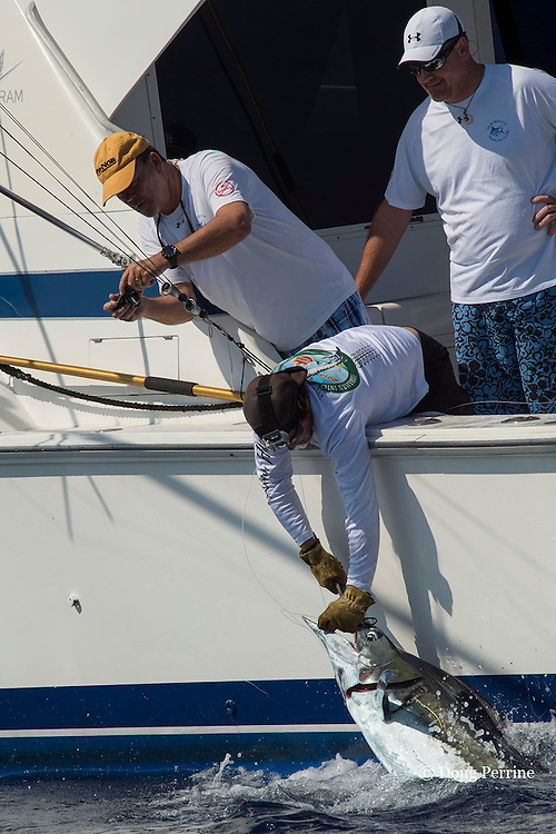 crew member removes hooks from Pacific blue marlin, Makaira nigricans or Makaira mazara, prior to release during the Hawaii International Billfish Tournament, Kailua Kona, Hawaii ( Central Pacific Ocean ); note yellow spaghetti tag attached to marlin