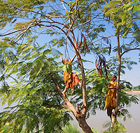 Monks in orange robes climbing a jacaranda tree, Nong Kai, Thailand