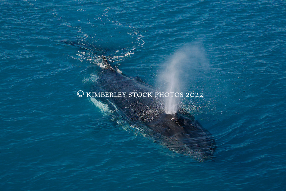 A humpback whale blows as it surfaces in Kimberley waters.
