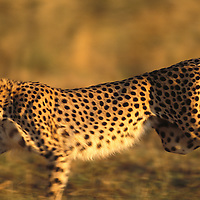 Cheetah running. Cheetah's have a flexible spine, oversized liver, enlarged hart, wide nostrils and an increased lung capacity. Covering 7-8 meters in a stride they reach a top speed of 70 mph (110mph). Cheetah. Cheetahs are Africa's most endangered cat, less than 15,000 remain in 26 African countries, and less than 50 found in Iran, the last of the Asian cheetah. Namibia is the Cheetah Capital of the World with approximately 3,000 free-ranging individuals of which 95% are outside protected areas on commercial livestock and game farms, resulting in conflict with humans..