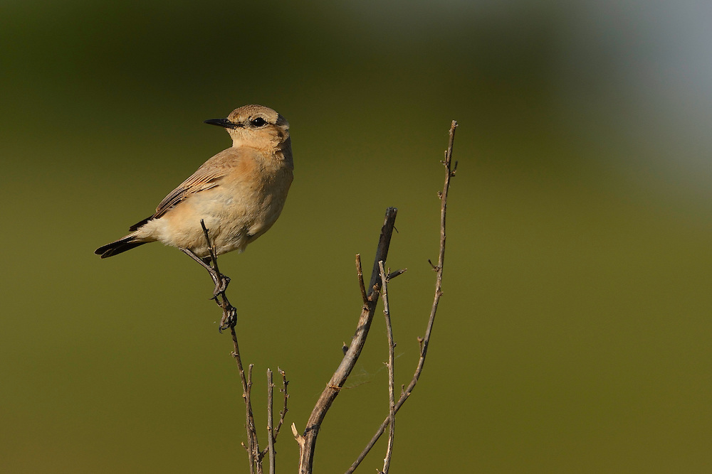 Isabelline wheatear male, Oenanthe isabellinae, Sakar mountains, Eastern Rhodope mountains, Bulgaria