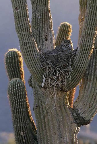 Great Horned Owl, (Bubo virginianus) Nesting in Saguaro cactus in Sedona, Arizona.