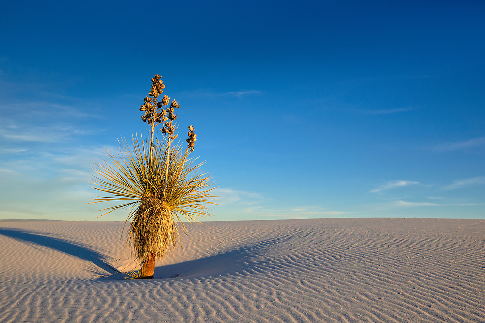 Yucca on sand dune, White Sands National Monument, New Mexico.