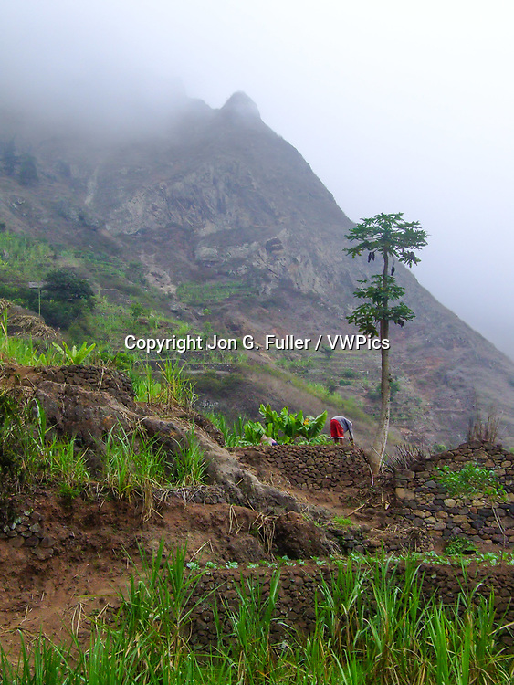 A farmer works in his terraced vegetable garden in the foggy Valley of Paul, Santo Antao, Republic of Cabo Verde, Africa.  A papya tree stands above the banana plants.