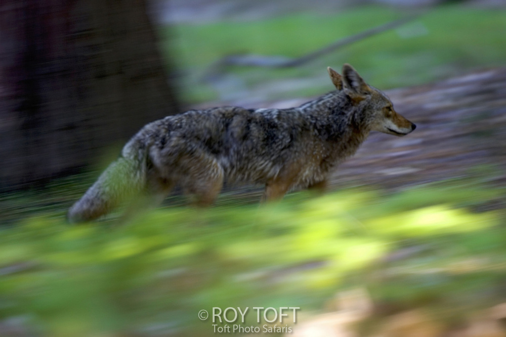 A coyote running through the forest.