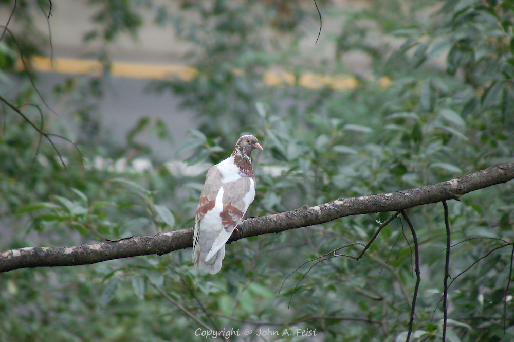 This dove just appeared on the tree outside my window in Hillsborough, NJ.  We usually see brown doves, so this was unusual.