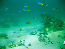 Blue fusileers shoal underwater at Lombadina on the Kimberley coast.