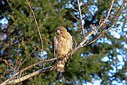 Juvenile Sharp-shinned hawk perched in habitat