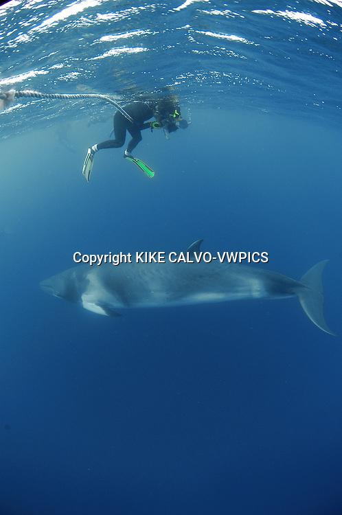 Dwarf minke whale (Balaenoptera acutorostrata) .  Great Barrier Reef. Pacific Ocean.