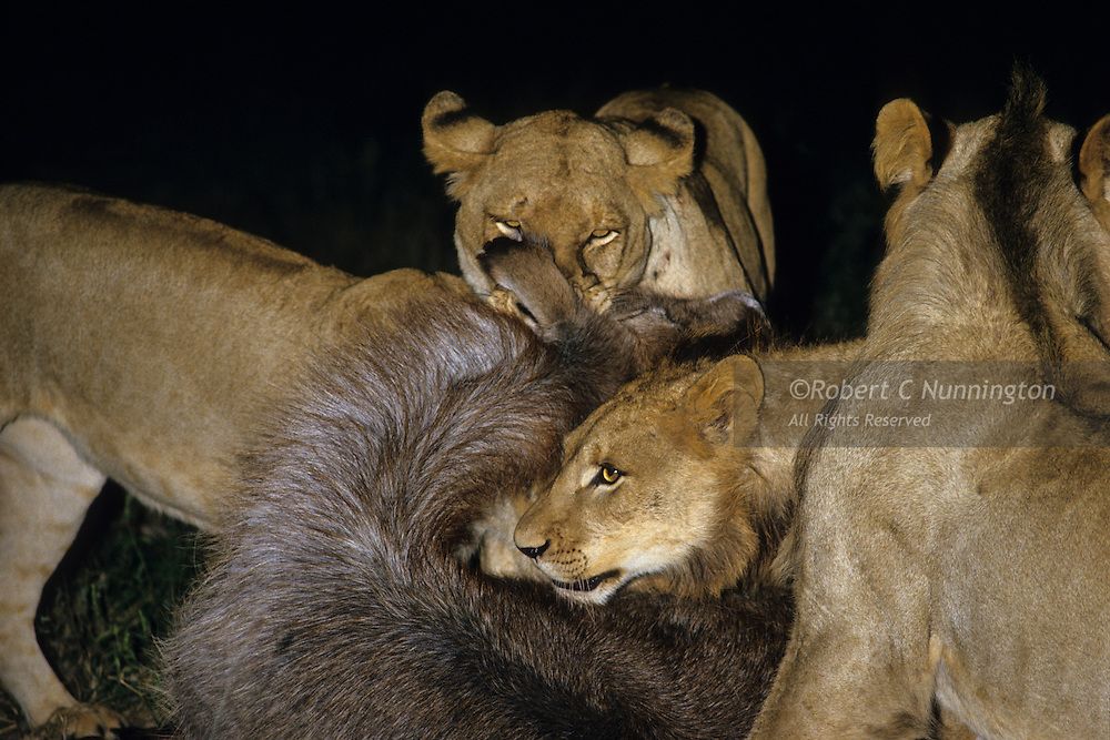 A pride of lions administering the coupe de grace to a female waterbuck at night. Sabie Sands Game Reserve, Mpumalanga, South Africa