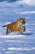 Image of a leaping bengal tiger, panthera tigris tigris, property released