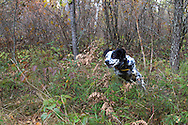 English setter hunting Ruffed Grouse and Woodcock in Wisconsin
