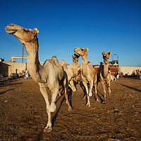 The weekly Birqash Camel Market - each camel has their front left leg  tied so they cannot run away, Cairo, Egypt, 2014