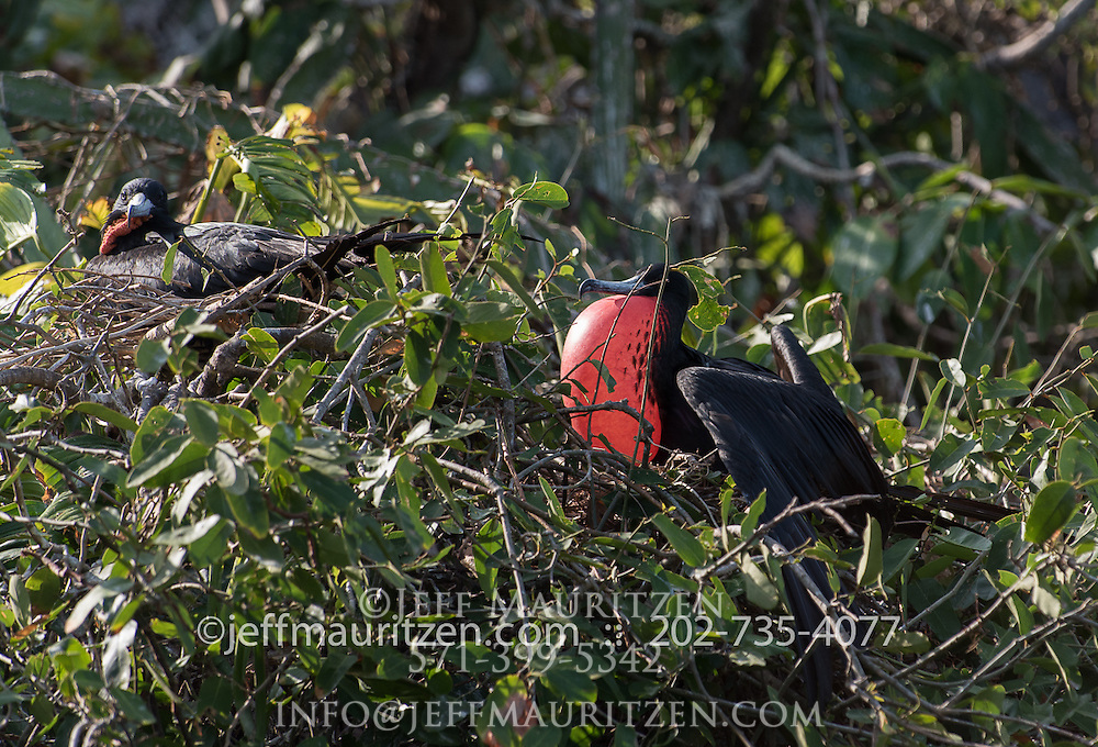 2 male Magnificent frigatebirds roost on a tree on Bona Island in the Bay of Panama.