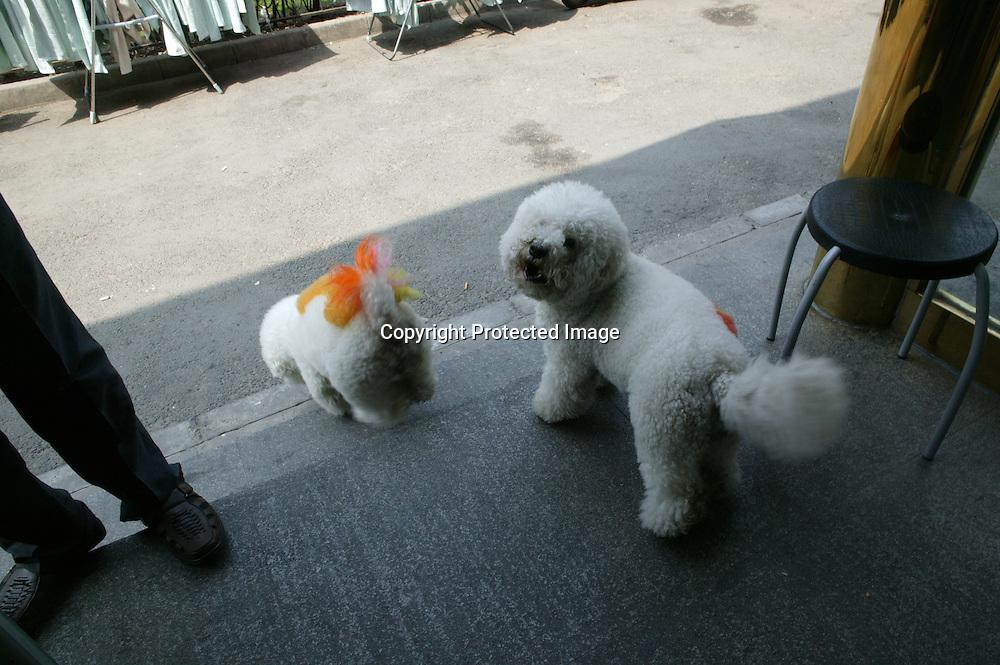 BEIJING, DEN 5. JUNI 2011 : 2 Pudel mit Verzierungen auf dem Ruecken  spazieren in einem in einem Tiergeschaeft herum, das u.a. einen Spa Service anbietet.