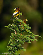 The Evening Grosbeaks flew up into the mountain hemlock.  They had been feeding on something on the ground.  I stood still and they went back to feeding.  Different individuals would fly up for a few seconds look around and then go back to feeding.