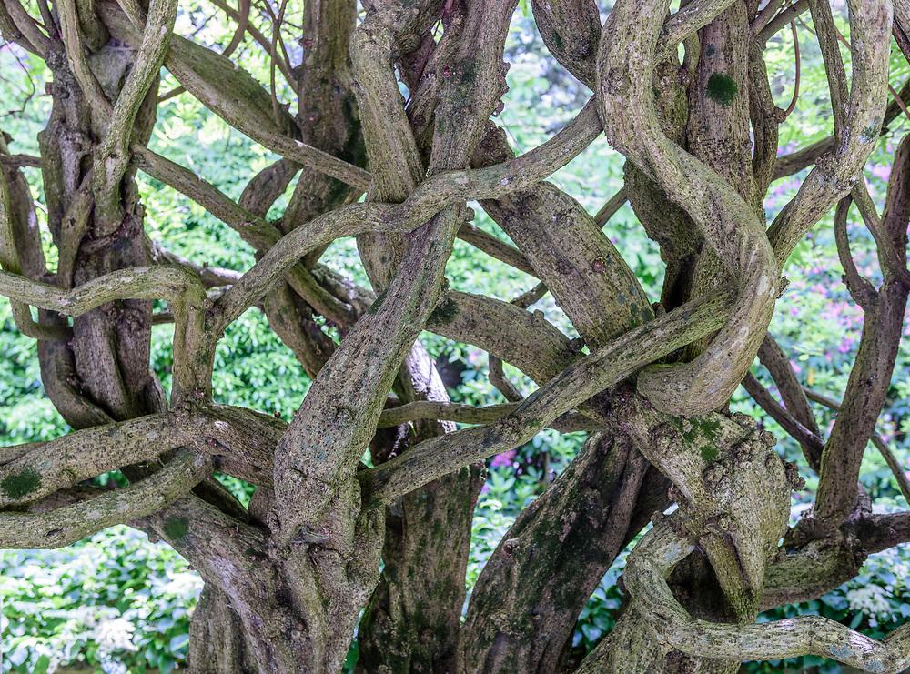 Wisteria, Garden of Arne and Milly Glimche, Georgica Close Rd, East Hampton, NY, Parrish Art Museum Landscape Pleasure 2017 garden tour