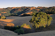 Oak trees in grass-covered hills along Sheep Ridge, Santa Clara County, California
