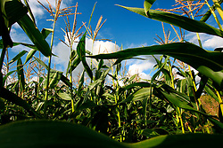 UK ENGLAND NORFOLK POTTER HEIGHAM 8AUG06 - Field of growing maize in the Norfolk Broads...jre/Photo by Jiri Rezac..© Jiri Rezac 2006..Contact: +44 (0) 7050 110 417.Mobile:  +44 (0) 7801 337 683.Office:  +44 (0) 20 8968 9635..Email:   jiri@jirirezac.com.Web:    www.jirirezac.com..© All images Jiri Rezac 2006 - All rights reserved.