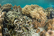 Giant Clam (Tridacna sp.)<br /> Raja Ampat<br /> Indonesia