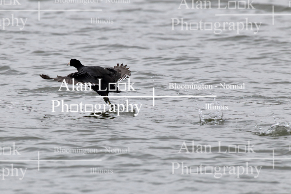 Coot taking flight from water