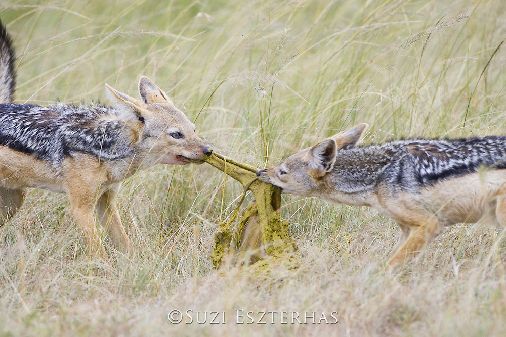 Black-backed Jackal<br /> Canis mesomelas<br /> Pulling apart stomach of Thomson's gazelle<br /> Masai Mara Triangle, Kenya