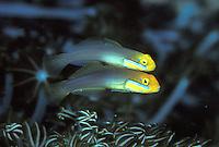 Valenciennea strigata; blueband goby; pair
