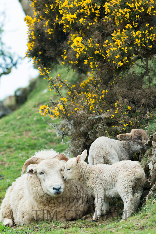 Sheep ewe and lambs, one nuzzling, shelter by drystone wall and gorse bush in Exmoor National Park, Somerset, United Kingdom